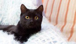 relación gatos negros y mala suerte