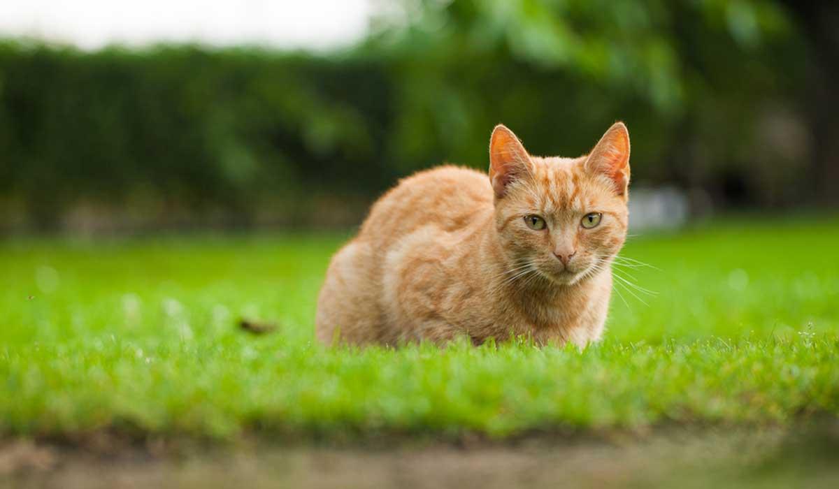 ¿Por qué los gatos siempre caen sobre las patas?