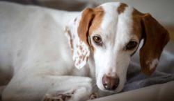 enfermedades del corazón en los perros