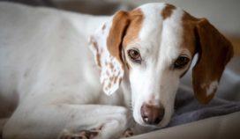 Esta enfermedad afecta a perros viejos de raza pequeña y mediana