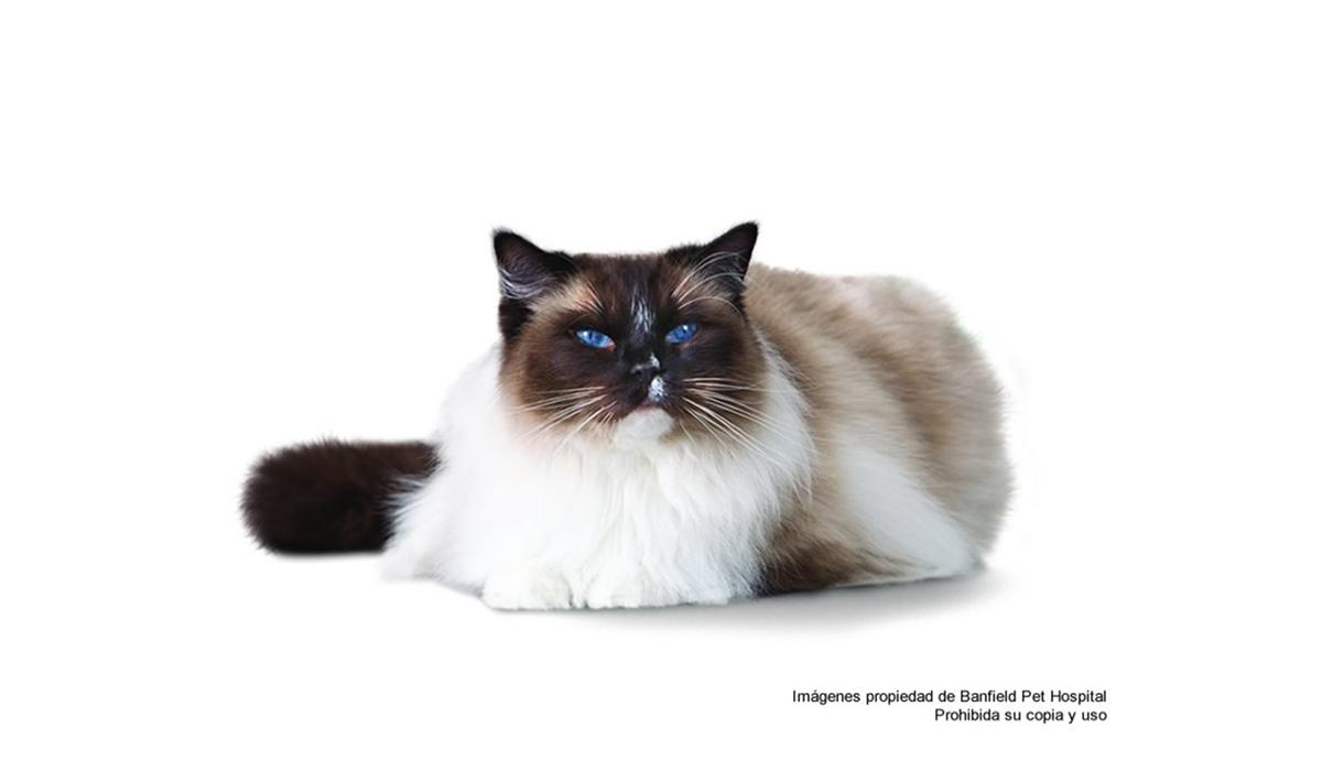 signos-de-envejecimiento-en-el-gato