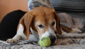 Si tu perro está envejeciendo, podría tener alguna de estas enfermedades