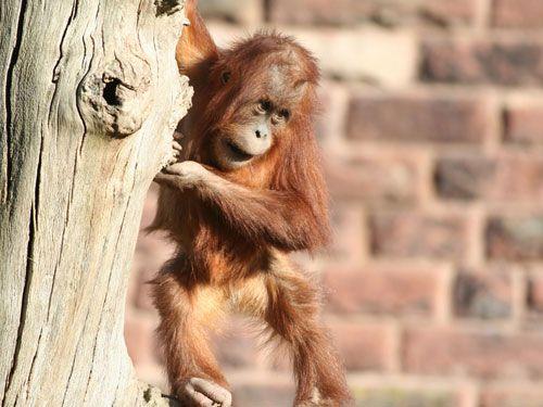 amor_orangutanes