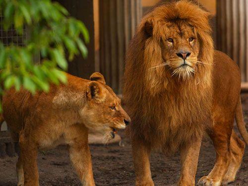 ataque_leones