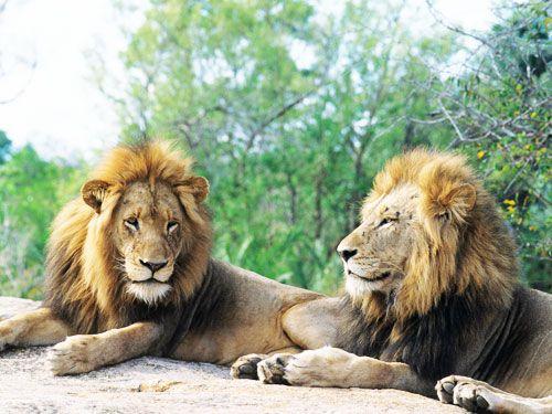 encantador_leones