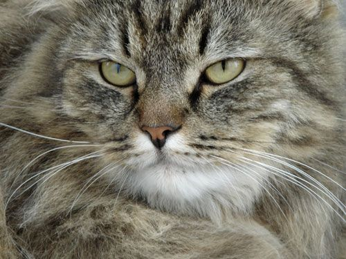gato_gordo