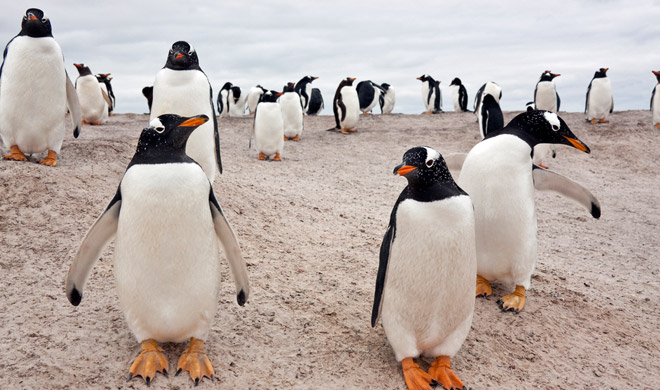 pinguino_papua