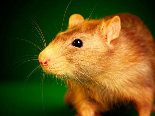 ratas_mascotas