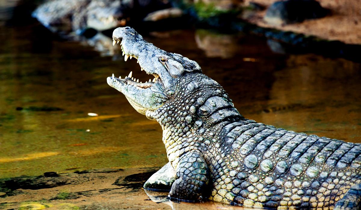 curiosidade-de-los-cocodrilos