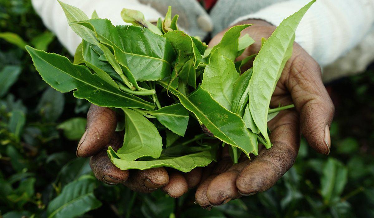 Descubre el poder del té y sus beneficios para tu salud