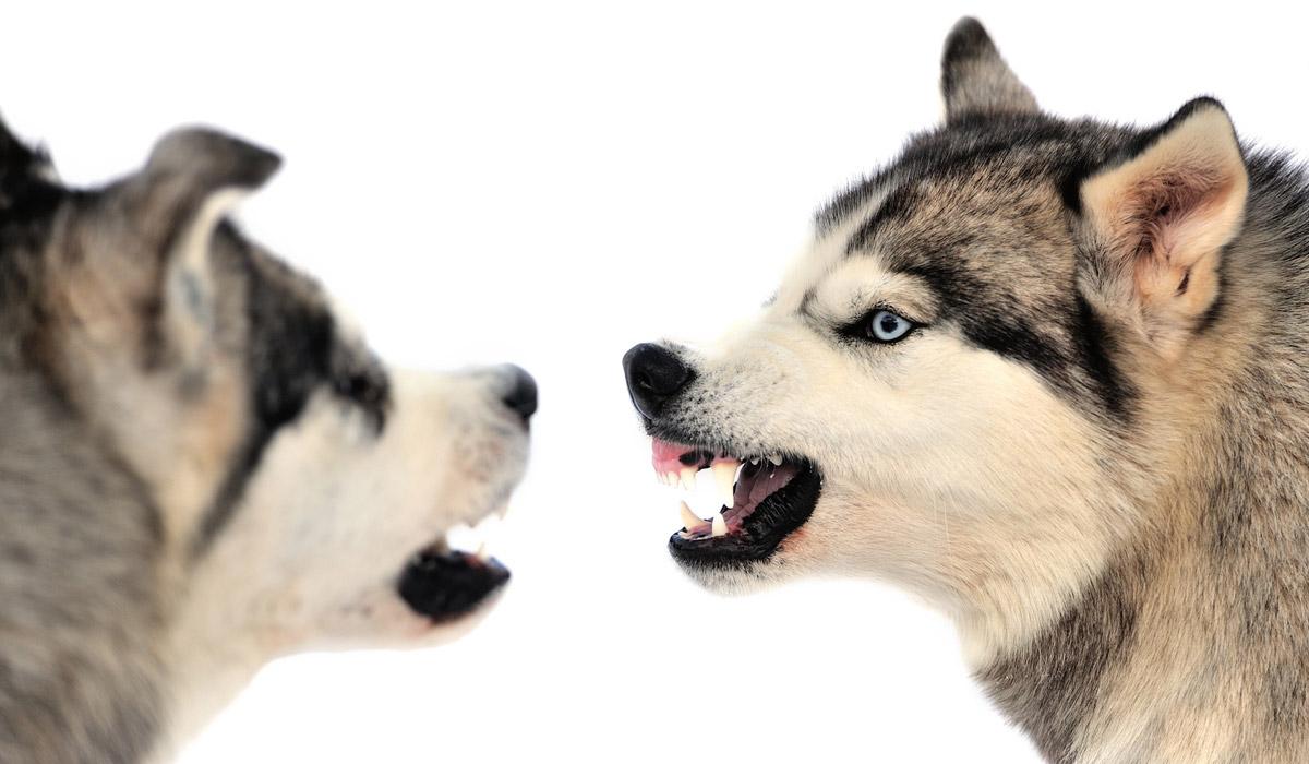 peleas-de-perros