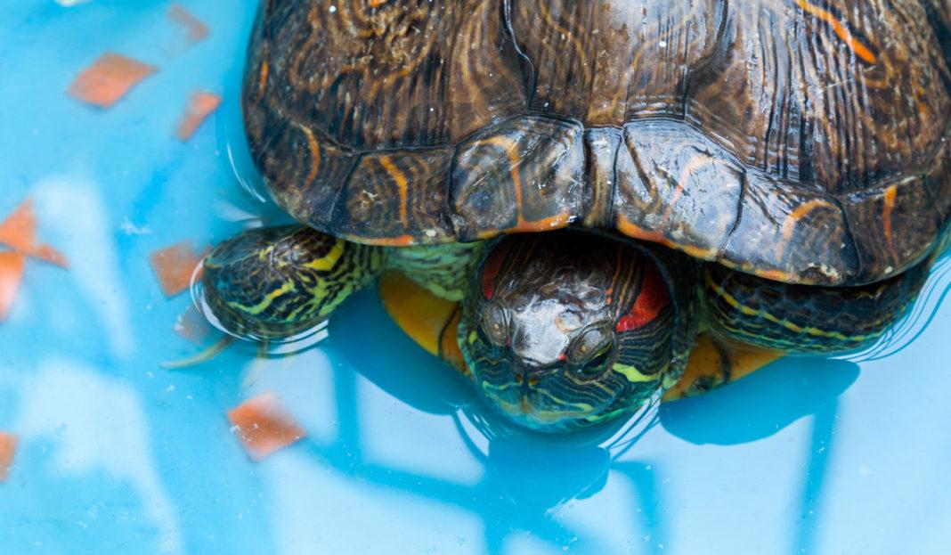 peligro-tortuga-japonesa