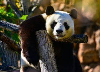 El Panda Gigante -sele