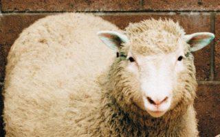 21 años de la Oveja Dolly-sele