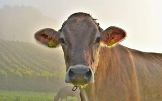 Anticuerpos de vaca, ¿la cura para el VIH?