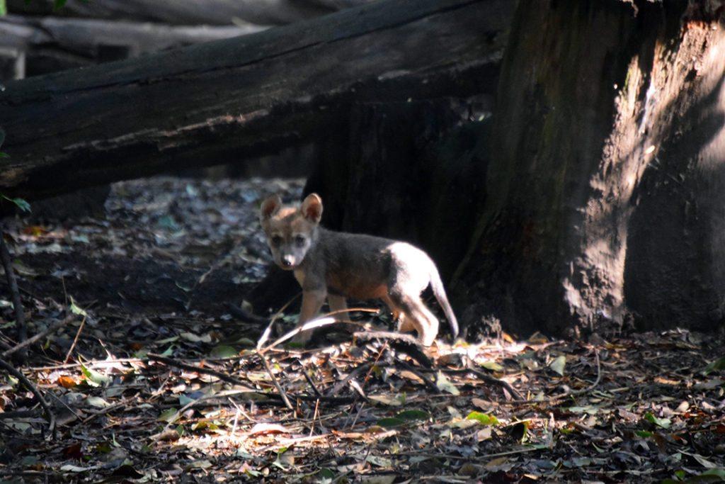 lobo mexicano-sele