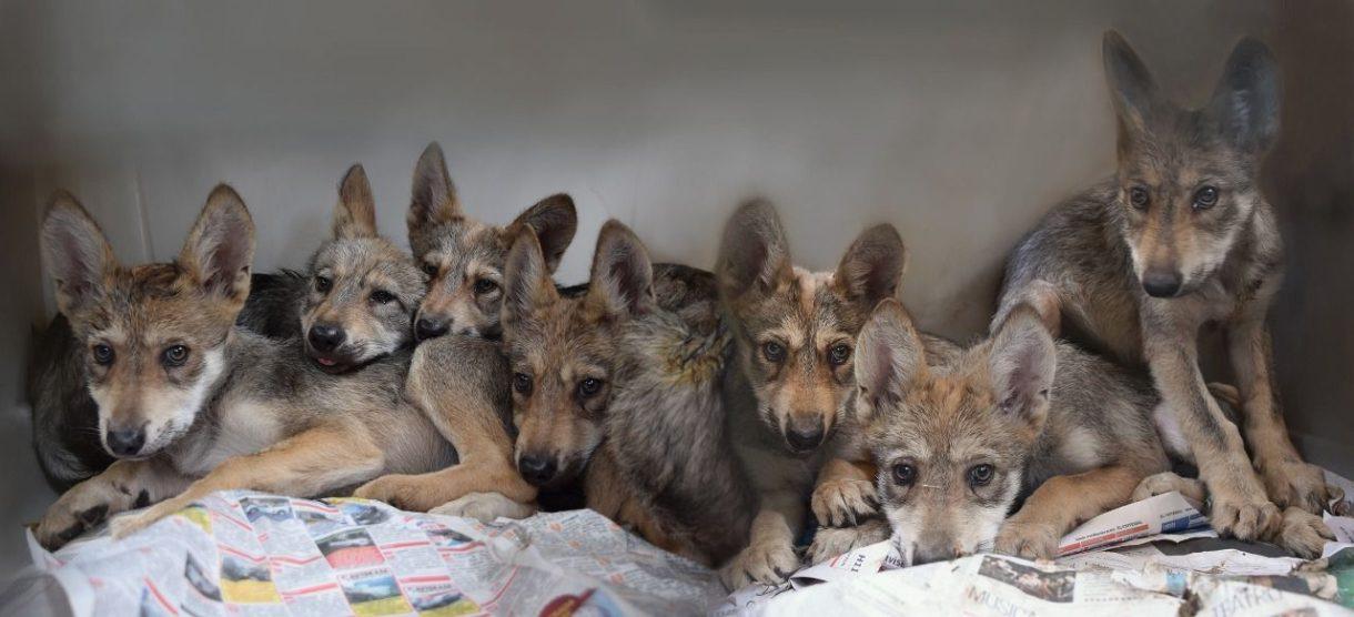 crías de lobo mexicano3