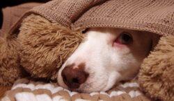si tu perro le teme a los cuetes, puedes hacer esto