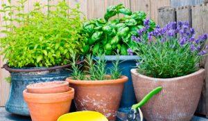 plantas que puedes cosechar en casa