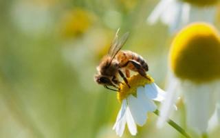 sin abejas se acaba el mundo
