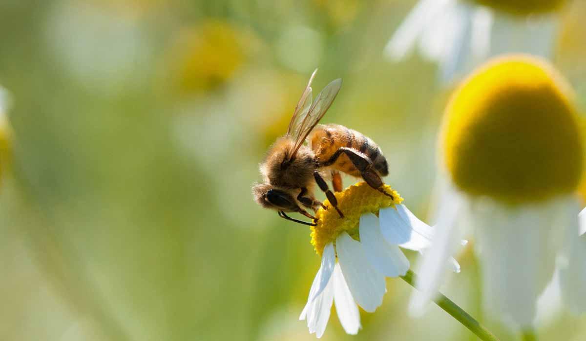 Sin abejas morirá la mitad de las plantas de la Tierra