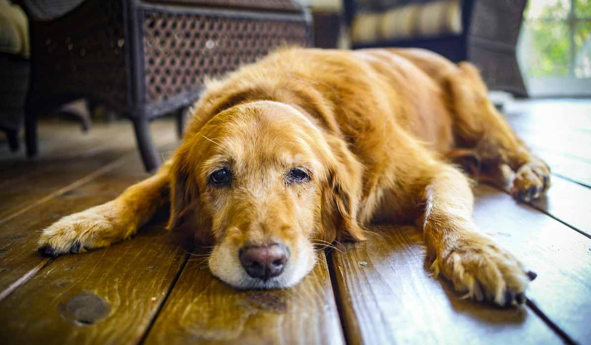 cómo saber si tu perro está envejeciendo