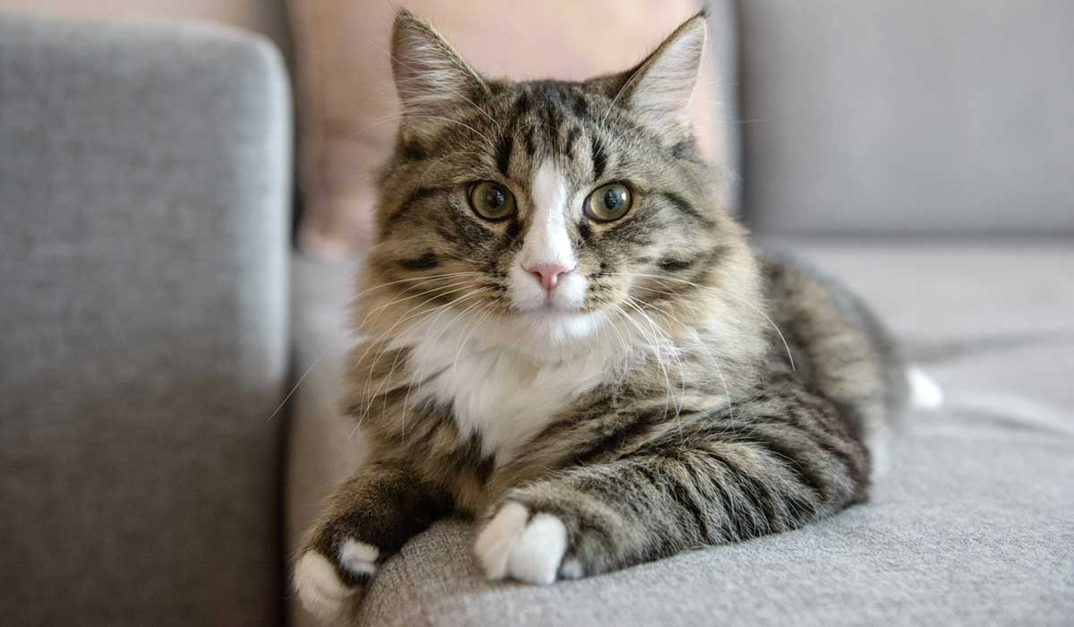 ¿por qué los gatos amasan?
