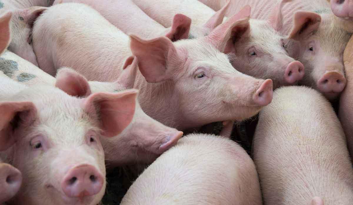 la carne de cerdo no es dañina