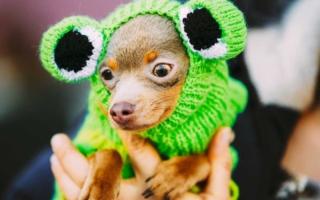 consejos para tener un perro Chihuahua