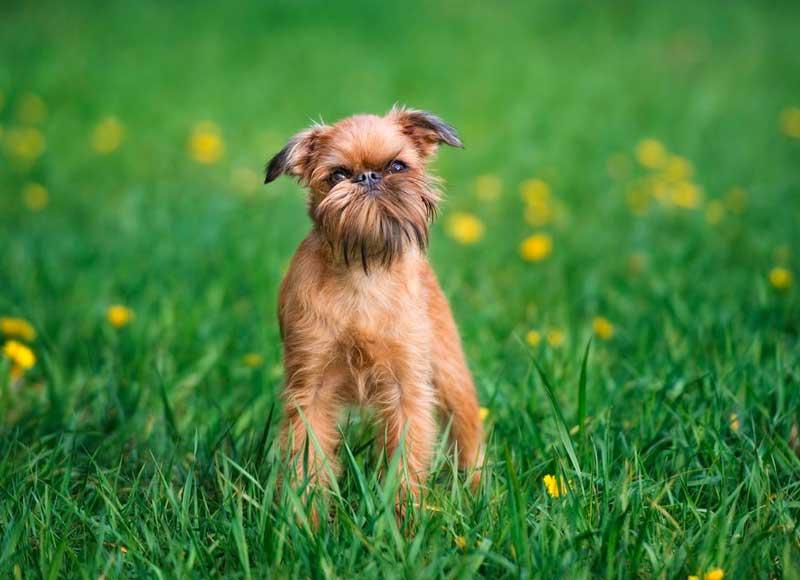 ¡Ternura al máximo! 8 de las razas de perros más pequeñas del mundo