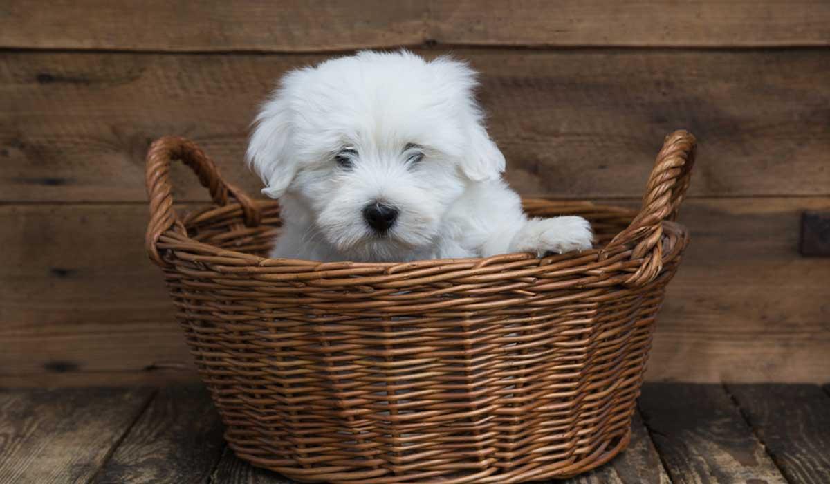 razas de perro llamadas taza de té