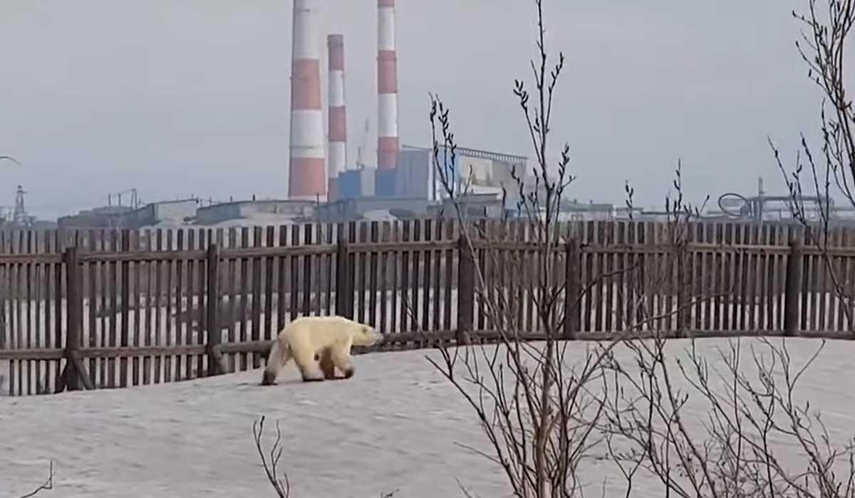 video de un oso polar afectado por el calentamiento global