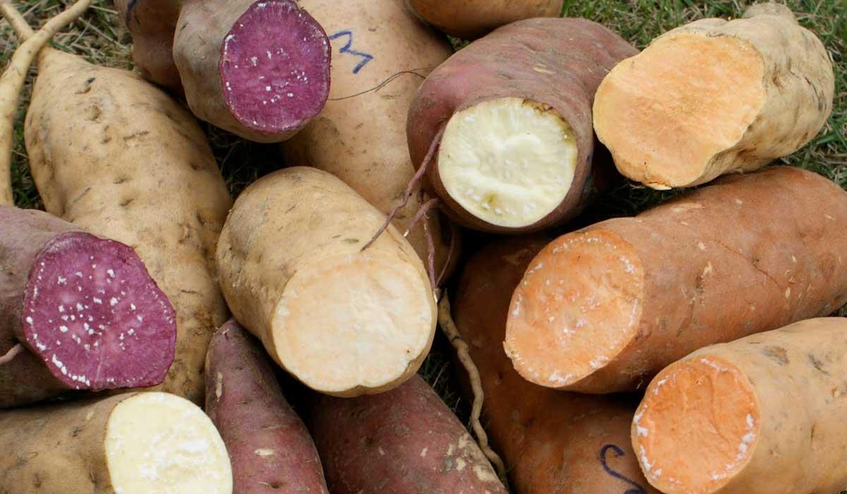 alumnos del IPN hacen harina de camote con muchas propiedades saludables