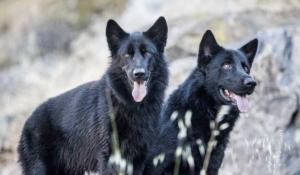 conoce tres razas de perros mexicanos