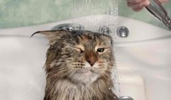 un gato que se baña sin arañar