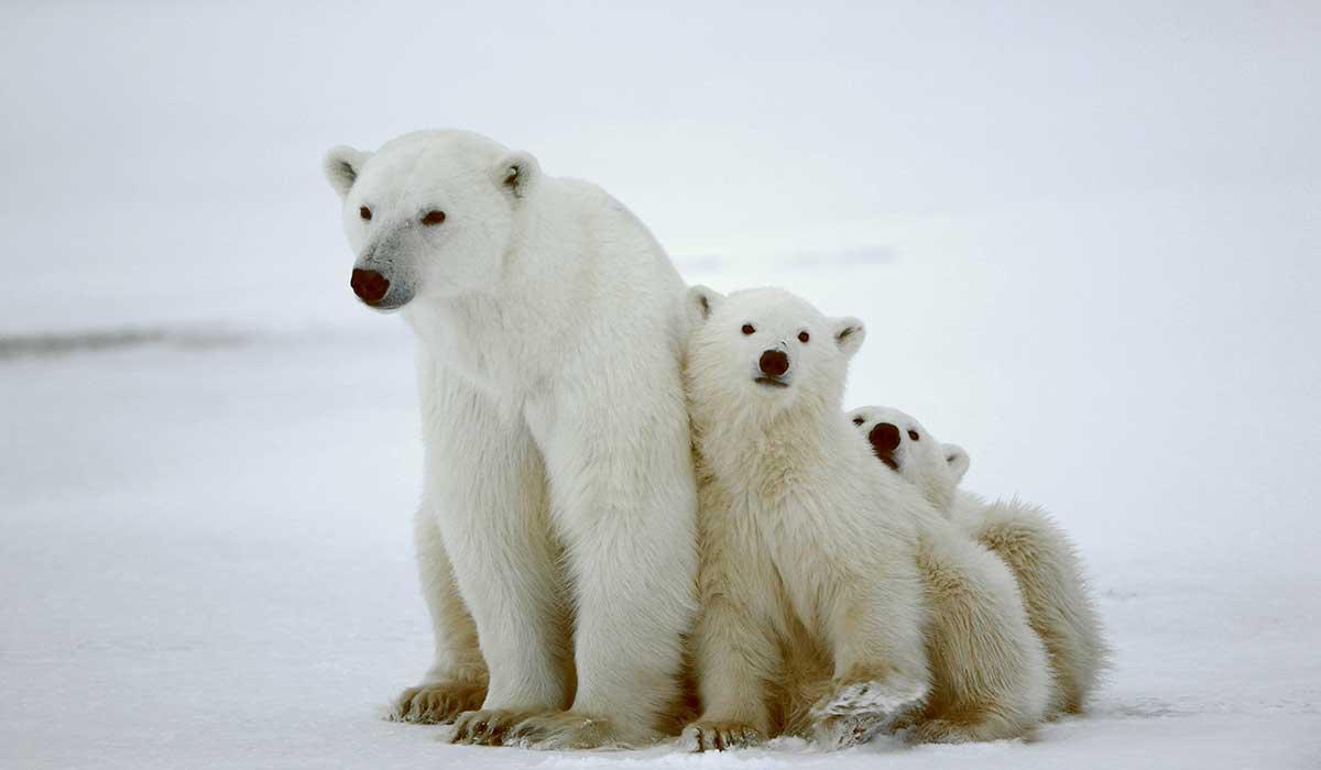 complicaciones para el oso polar