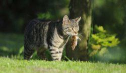 por esto cazan los gatos