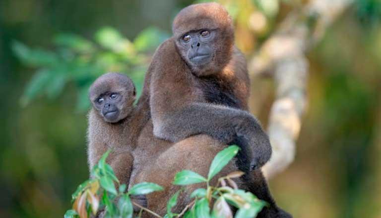 diferencia entre monos y simios
