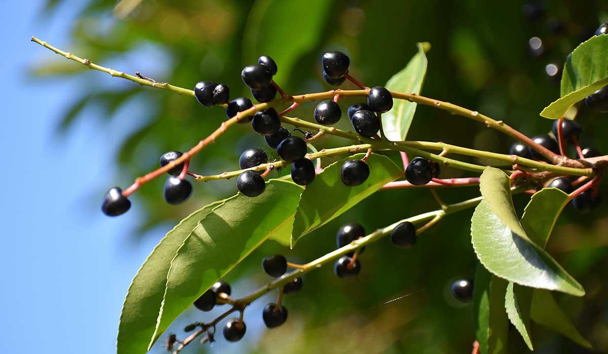 El capulín es una fruta con un alto valor antioxidante