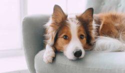 tu perro te brinda bienestar sin saberlo