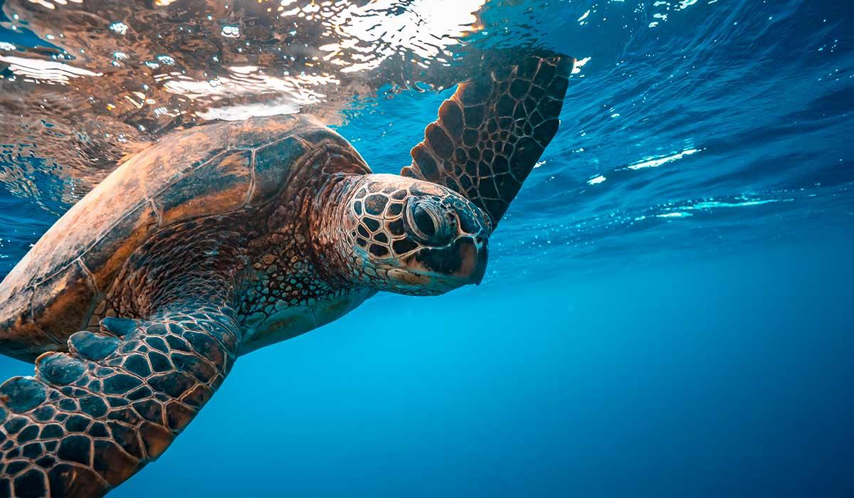 vienen más tortugas a las playas