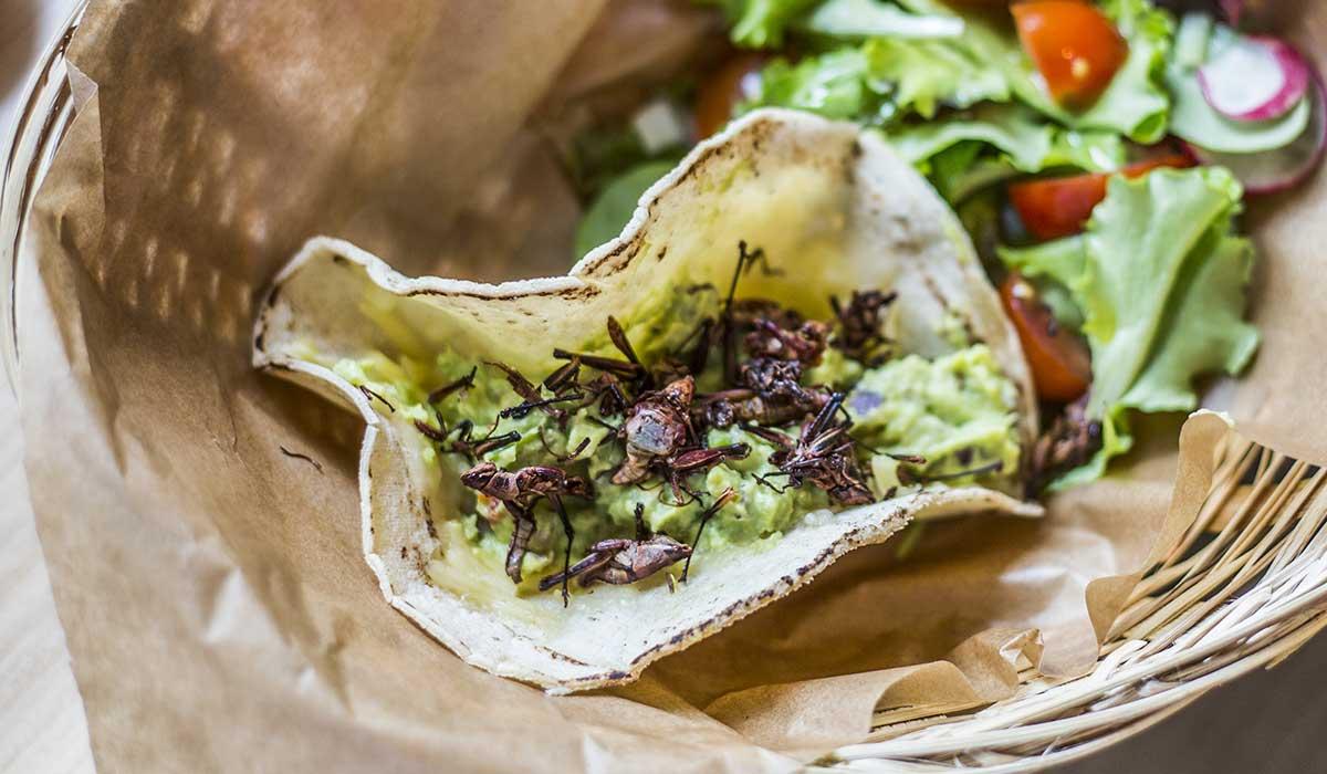 Este chapulín es el más consumido en México
