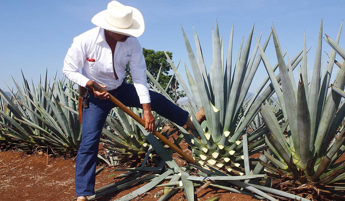 el tequila requiere un proceso minucioso