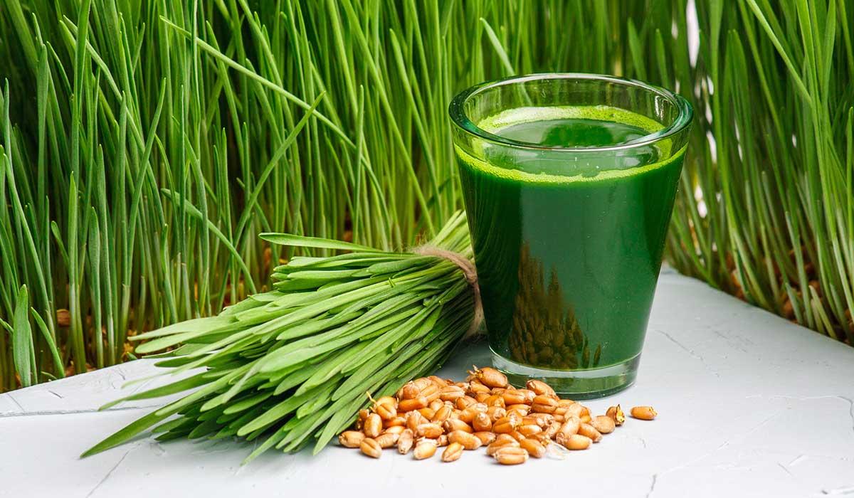 conoce los beneficios del pasto de trigo
