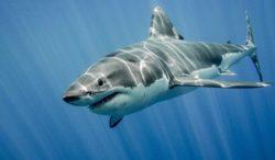 para comprender a los tiburones