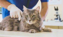 signos para llevar a tu gato al veterinario