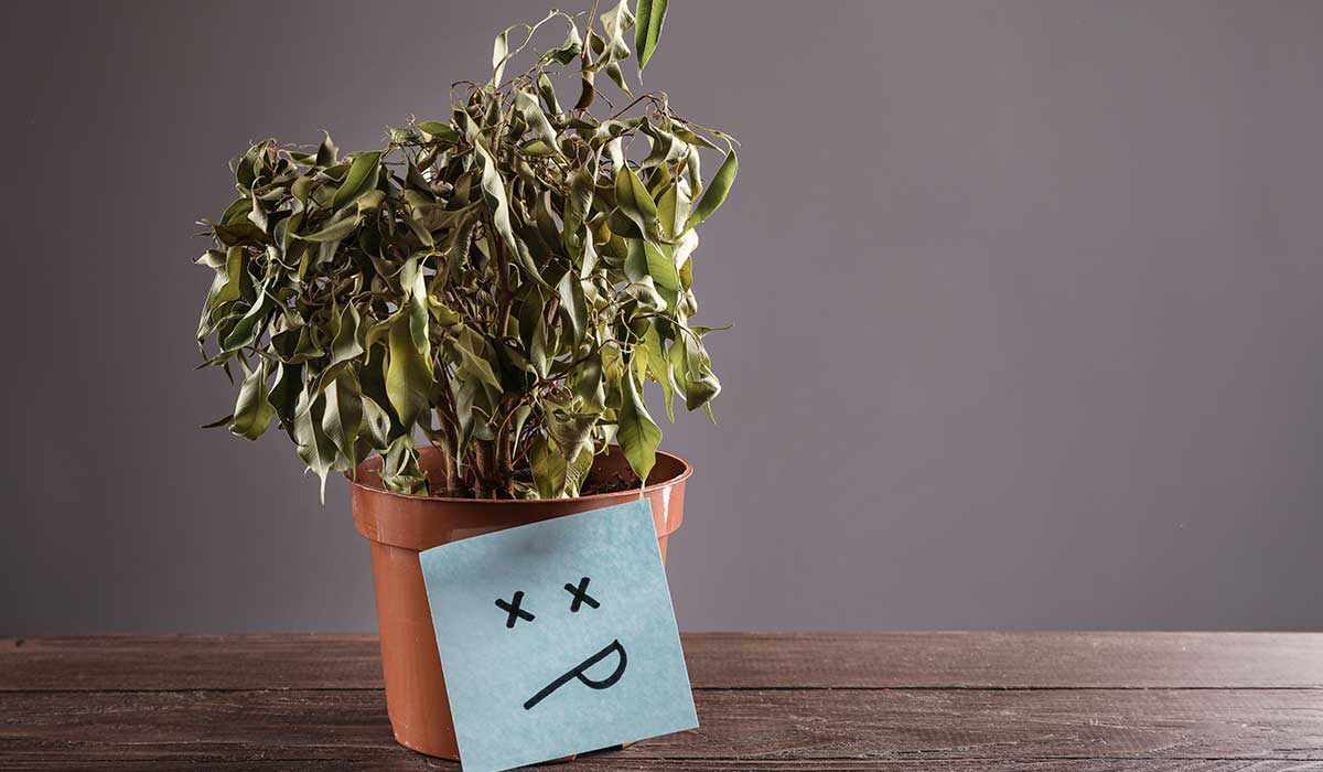mi planta se está muriendo cómo la revivo