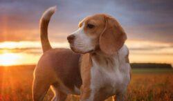 descubre lo que la cola de tu perro dice