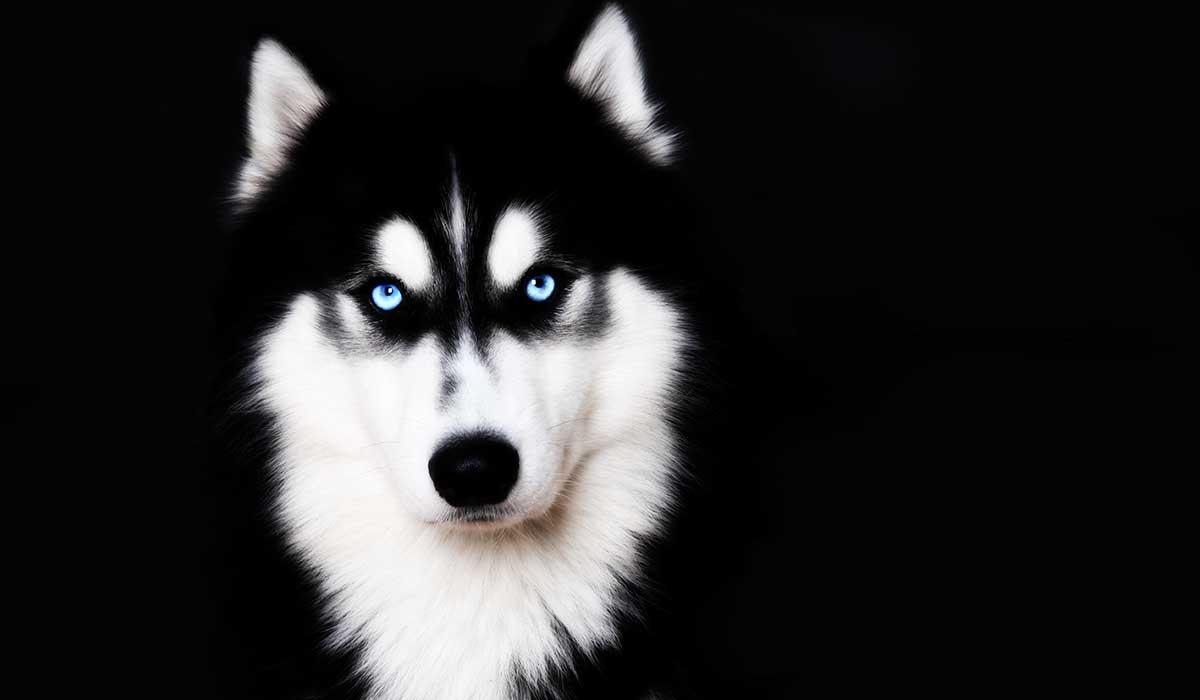 origen del husky y otras razas de perro rusas