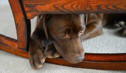 cómo tranquilizar a un perro ansioso